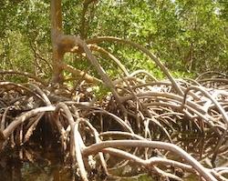 Les enseignements de la mangrove à l'usage de chacun ces derniers temps